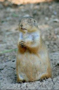 prairie_dog_in_prayer